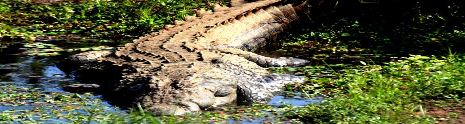 Crocodile in theCrocodile River