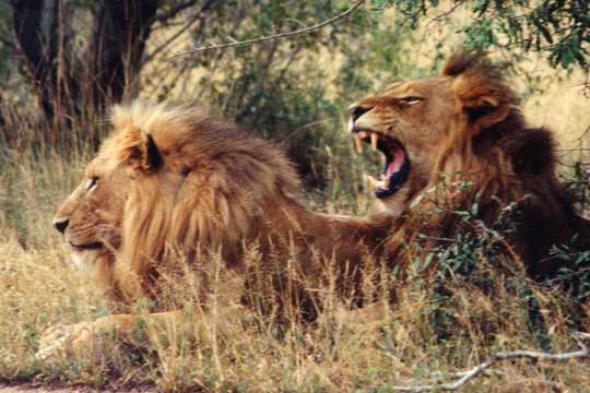 Lions in Kruger National Park
